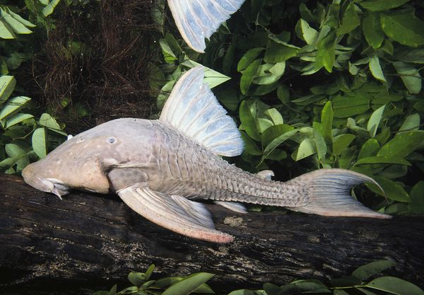 wood-eating-armored-catfish
