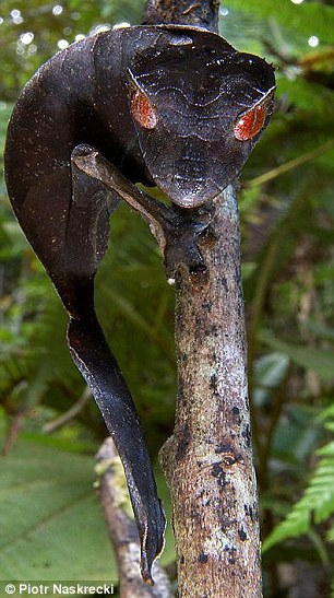 The Satanic Leaf-tailed Gecko